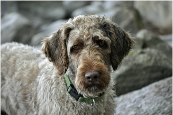 Gouge Family Labradoodles - Home